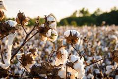 ELS Cotton